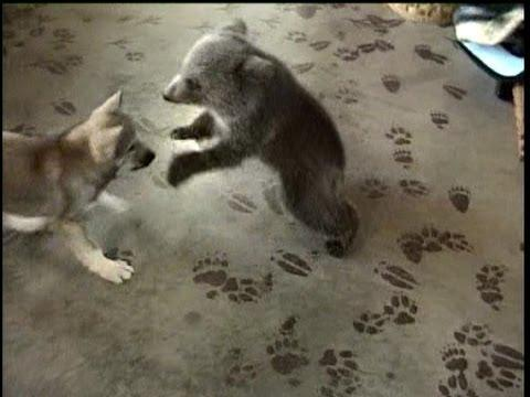 Cuteness Ahead – Grizly Bear Cub & Wolf Cub Playing