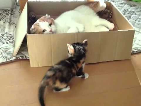 Cat Prevents Kitten From Entering A Box – Iz Troling